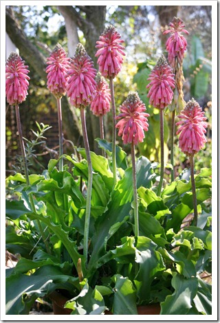 Veltheimia-bracteata_flower