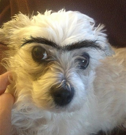 cachorro-sobrancelha-9