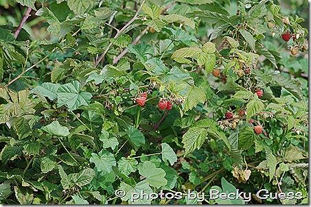 10-05-11 raspberry farm near Mora NM 06
