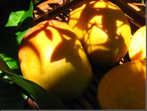 ripe mango 3