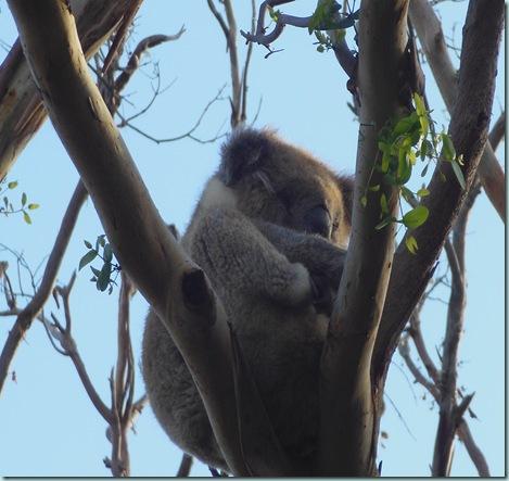 Otway Sleeping Koala