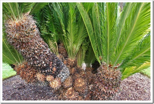 120317_Capitol_Park_Cycas-revoluta_03