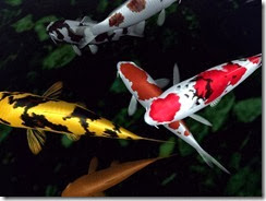 small-koi-fish-wallpaper