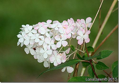 Hydrangea_VanillaStrawberry