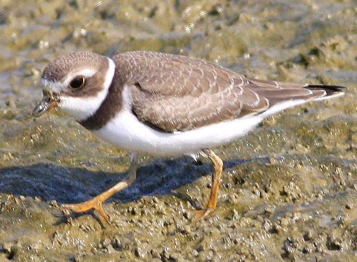 9-5-09, Minor Clark Fish Hatchery, Semipalmated Plover