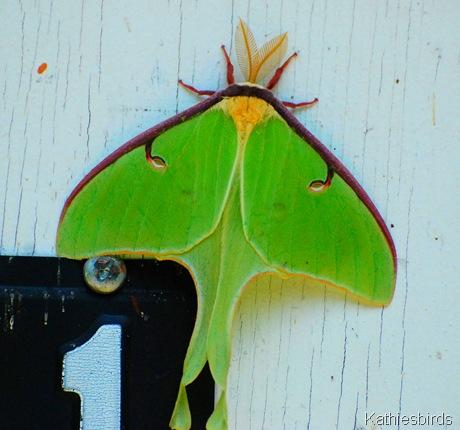 1. DSC_0001 Luna Moth