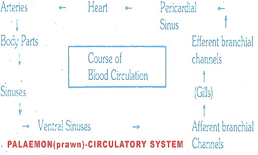 Palaemon-circulatory system-prawn