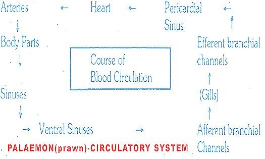 Palaemon-circulatory system-prawn