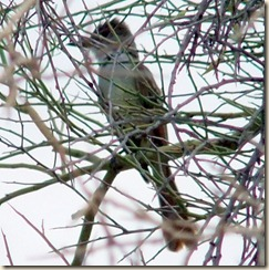Possible brown-crested flycatcher 6-24-2010 8-55-32 AM 786x788