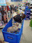Sharkey!  We're meeting new friends left and right!  Look at this Frenchie who popped into our cart!