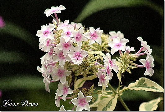 Phlox_NoraLeigh_Aug