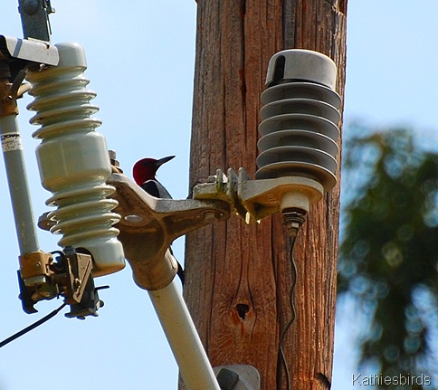 4. Redheaded woodpecker-kab