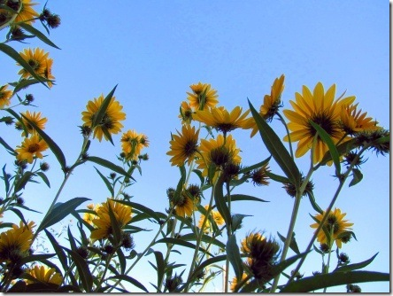 reaching-up-sunflowers