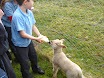 Lambs in school 2011 002.jpg