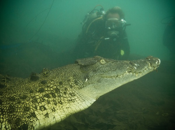 swimming with crocodile in Nile