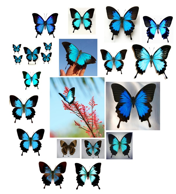 Papilio-ulysses kollage