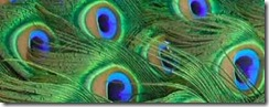 peacock_tail_feathers_close_up