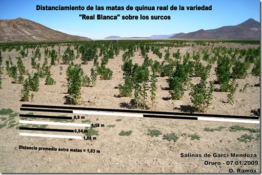 Distanciamiento_de_las_Matas_sobre_el_surco_de_Quinua_ Chenopodium_quinoa_Variedad_Real_Blanca-D.Ramos-Laquinua.blogspot.com