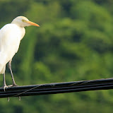 An Egret Sitting On A Cable - St. George's, Grenada
