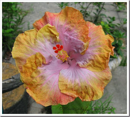 """Hibiscus forum: """"Hugs & Kisses"""" - Garden.org"""