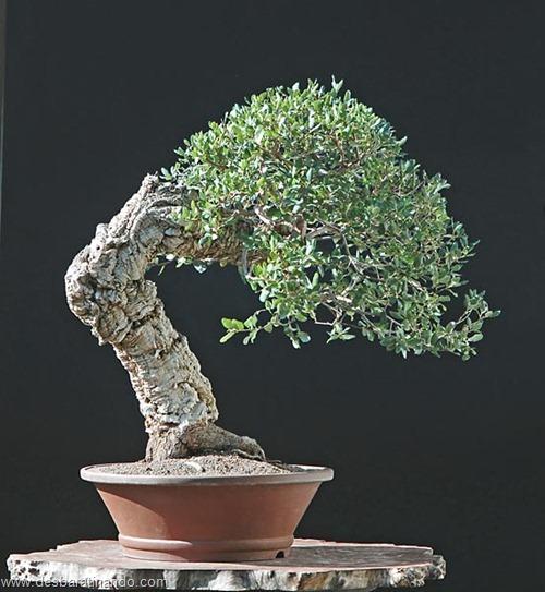 bonsais arvores em miniatura desbaratinando (29)