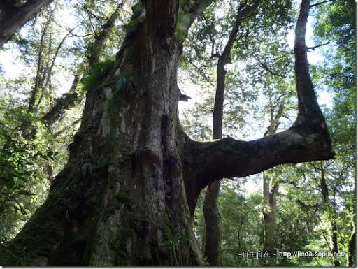 司馬庫斯-day2-巨木7的轉角分支