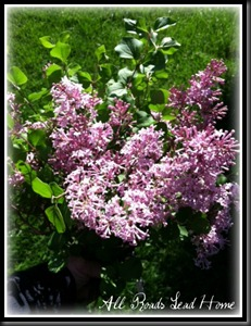 lilacs bloomed6 ARLH