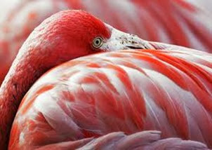 Amazing Pictures of Animals, Photo, Nature, Incredibel, Funny, Zoo, Flamingos or Flamingoes, Phoenicopteridae,  Aves, Bird, Alex (2)
