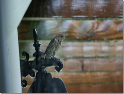 House Finch during Hurricane Irene
