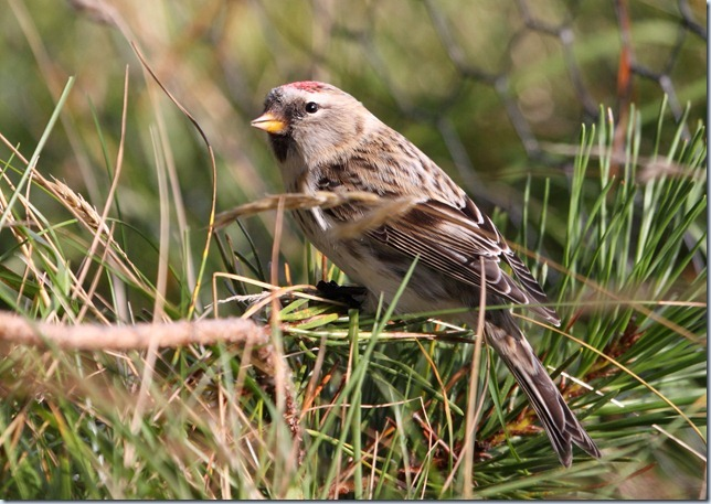 arctic_redpoll4