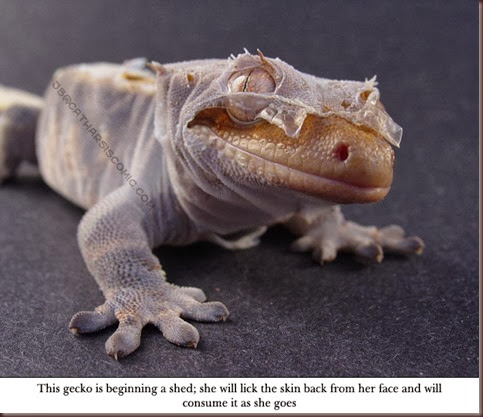Amazing Animal Pictures crested geckos (4)