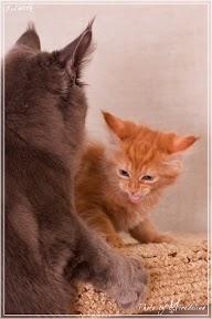 Фото история котят мейн кун в возрасте 7,5 недель 18