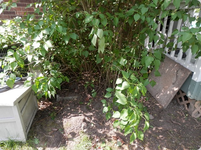 Lilac bush before cleanup