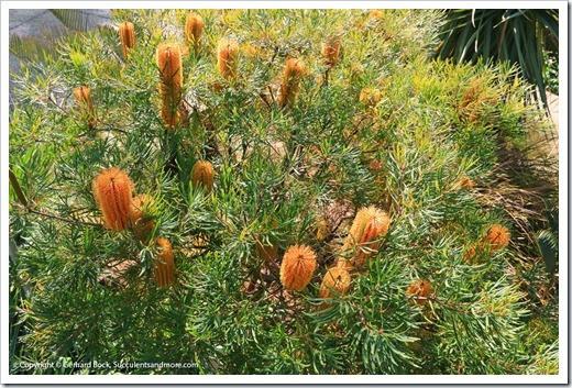 131230_UCBG_Banksia-spinulosa_002