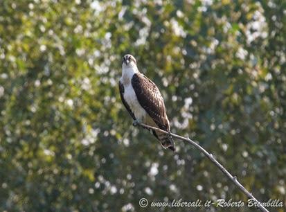 5_Falco pescatore_Pian di Spagna ed(46)