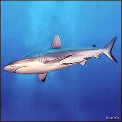 250px-Tiburón