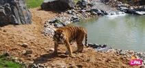 pal Tigre