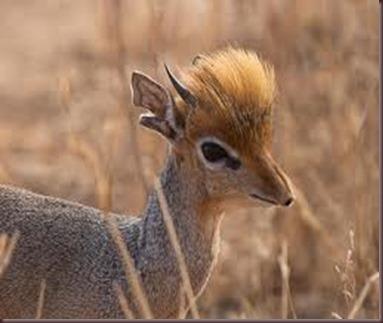 Amazing Pictures of Animals photo Nature, exotic, funny, incredibel Zoo, Dik-dik, antelope. Alex (18)