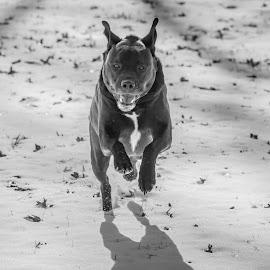 Headon by Leon Herbert - Animals - Dogs Running ( mcevoy park, dogs, ohio, aster, parks, pets, g+, chess, leon herbert photography, cincinnati, dogscapades )