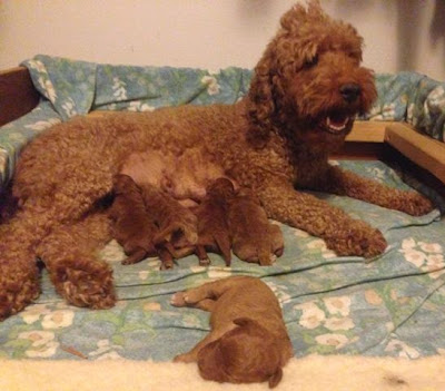 caramel and red labradoodle puppies a few days old