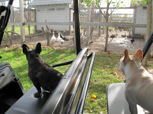 Hey Francesca!  Stop the Kawasaki here so that we can say hello to our friends, the turkeys.