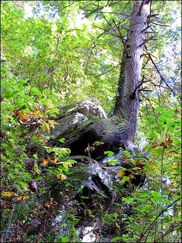 tree growing from rock