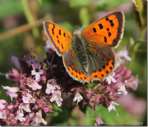 Small-copper-2