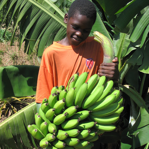 Banana plants yield large bananas thanks to manure.