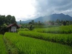 Cara menanam padi sawah