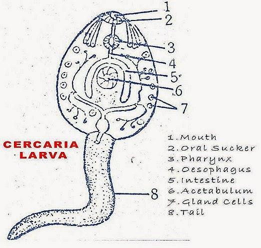 cercaria-larva-fasciola-hepatica