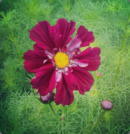 varieties  'Double Click Cranberry' cosmos Love n Fresh Flowers1229839_649939238371469_125632651_n