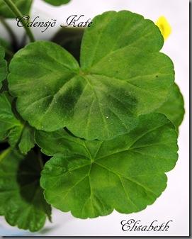 Pelargonium juni-11 184