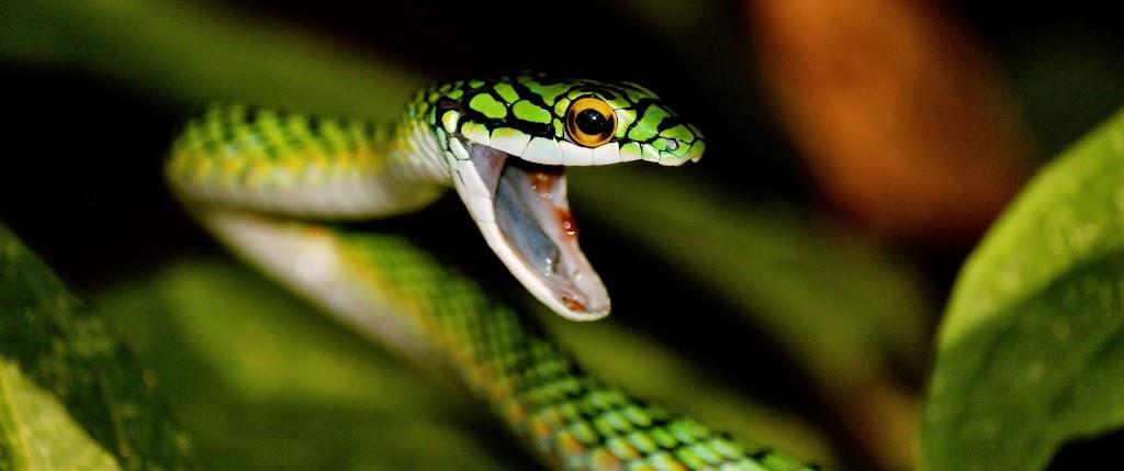 Black skinned parrot snake Leptophis ahaetulla by PAtrick Champagne