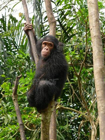 Chimpanzee hanging in a tree, Mefou, National Park, Cameroon. This forest is slated for destruction for a palm oil project by American company Herakles Farms. Photo: Filip Verbelen / Greeenpeace